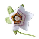 Codonopsis1